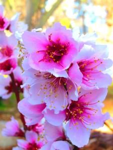 peach flowers (5)